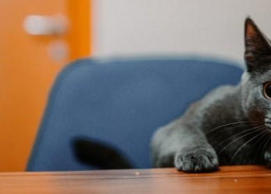 Какую опасность для жизни представляет холецистит у кошек?