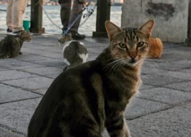 Чем опасна глаукома у кошки и что делать при появлении?