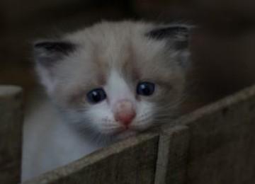 Что делать, если у кошки блефарит?